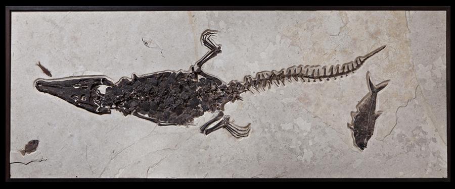 グリーンリバークロコダイルと古代魚の化石ボード