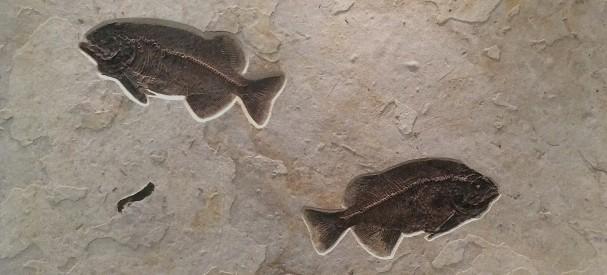 2匹のファレオダスエンカスタスの化石ボード