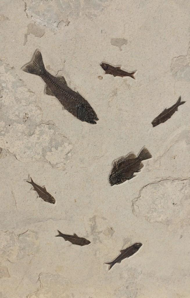 ミオプロサスとプリスカカラと魚群の化石ボード