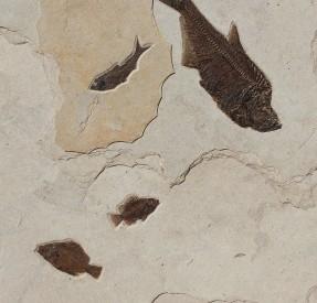 ディプロマイスタスとプリスカカラと魚群の化石ボード
